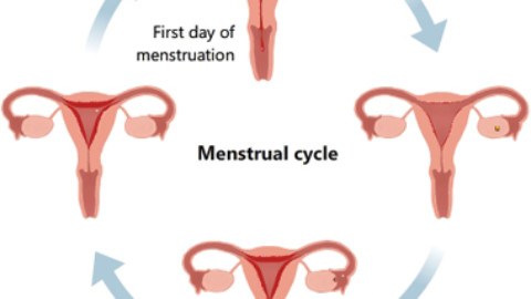 Study Links Menstrual Cycle Characteristics to Fertility